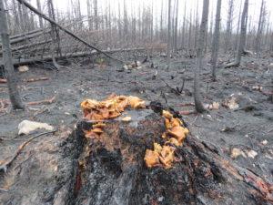 Rökslöjskivling på en stubbe i det brandhärjade området i Västmanland.