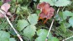 Rödgul trumpetsvamp – grönsakswok