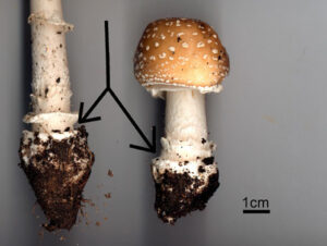 amanita_pantherina_03